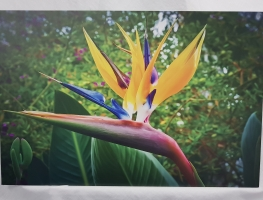 Bird of Paradise on aluminium composite panel