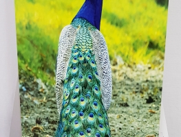 Peacock Image Digital Printed on Ceramic Tile 2 by Graphic Glass Services Qld